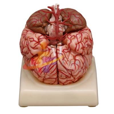 医模 大脑及动脉模型