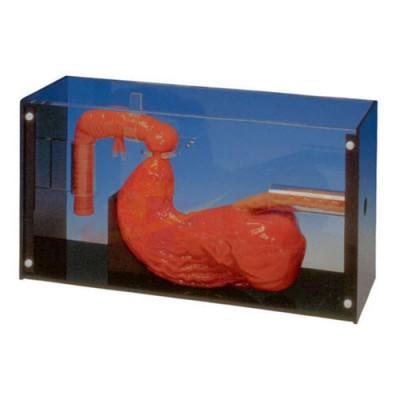 医模 胃镜及ERCP操作模型