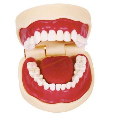 医模 正常大小口腔护理操作模型(带舌)