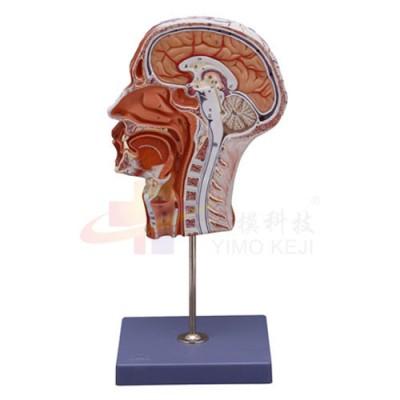 医模 半侧头部模型