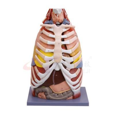 医模 胸部解剖模型