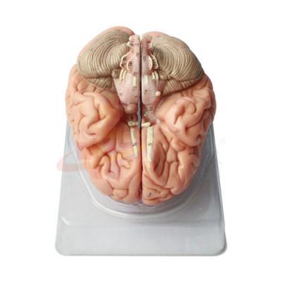 医模 大脑模型