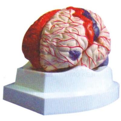 医模 脑及脑动脉和大脑皮质功能定位模型