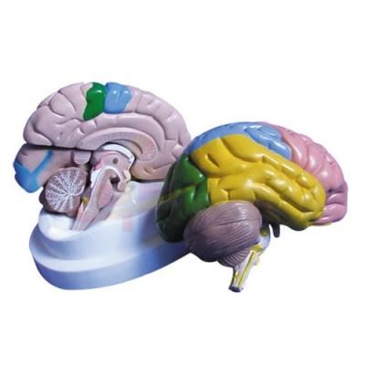 医模 大脑皮质分区模型