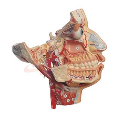 医模 面部的神经和血管模型