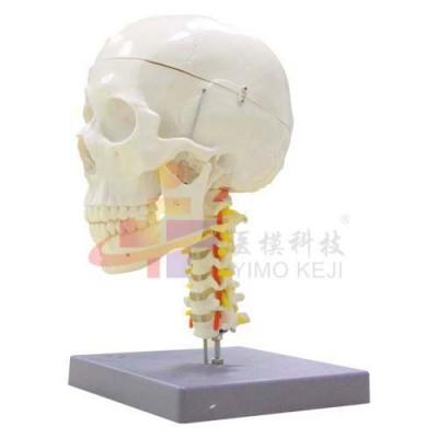 医模 头颅骨带颈椎模型