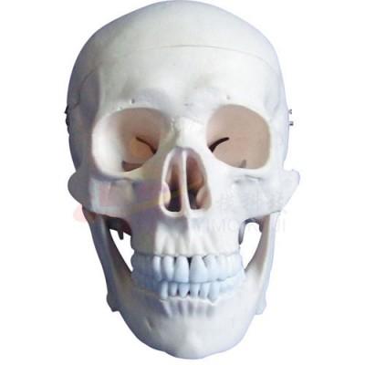 医模 头颅骨模型(三部件)
