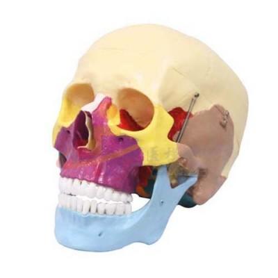 医模 头颅骨骨性着色模型(三部件)