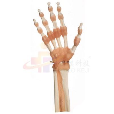 医模 手部及指间关节功能模型