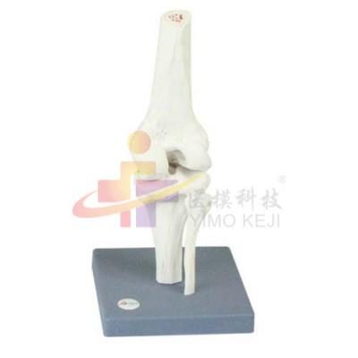 医模 膝关节模型