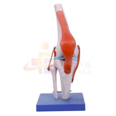 医模 功能性膝关节模型