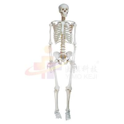 医模 人体骨骼示教模型