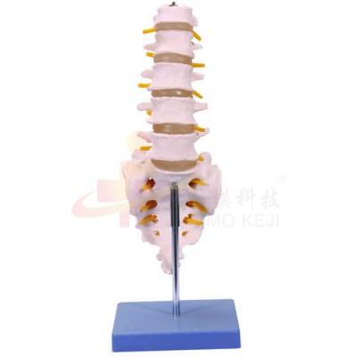 医模 腰椎带尾椎骨示教模型