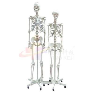 医模 女性全身骨骼示教模型