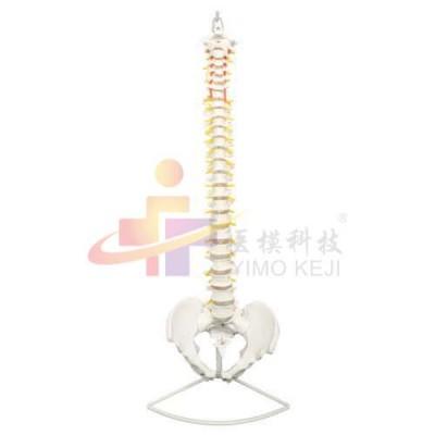 医模 脊椎带骨盆示教模型