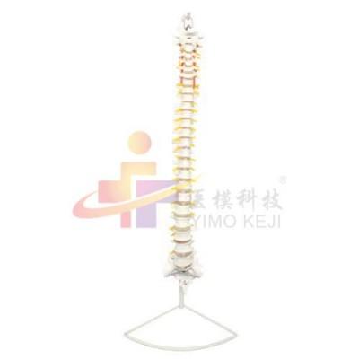 医模 脊椎示教模型