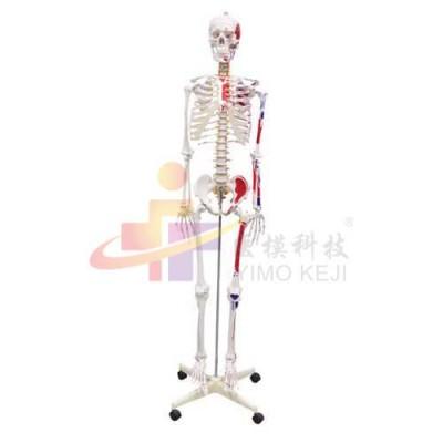 医模 人体骨骼半边肌肉着色模型