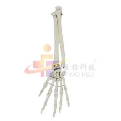 医模 手掌骨带尺骨和桡骨模型