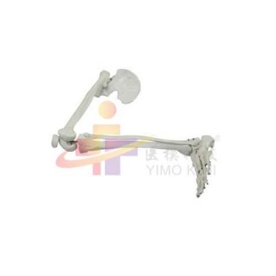 医模 下肢骨带髋骨模型