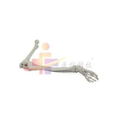 医模 下肢骨模型