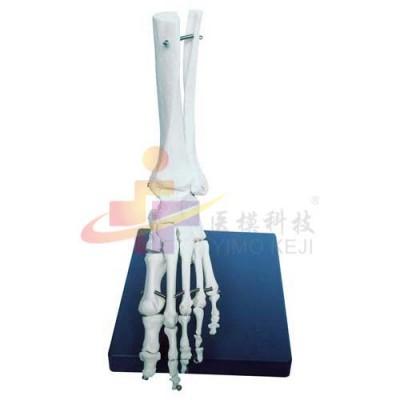 医模 脚关节模型