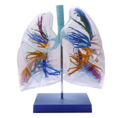 医模 透明支气管肺段示教模型
