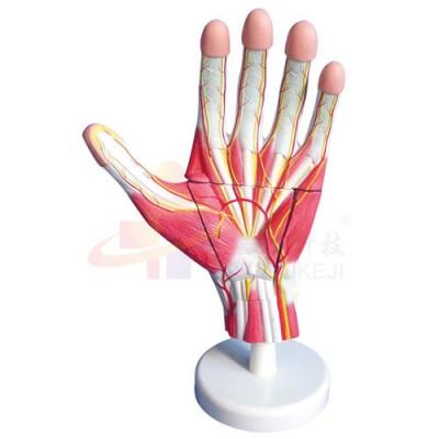 医模 手部肌肉解剖模型