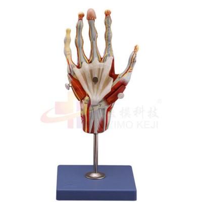 医模 手部肌肉模型