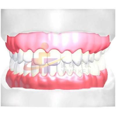 医模 正常大小牙齿示教模型