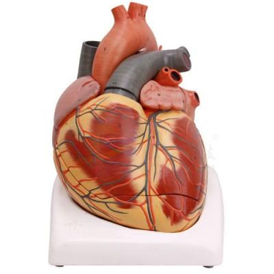 医模 心脏(2倍 )模型