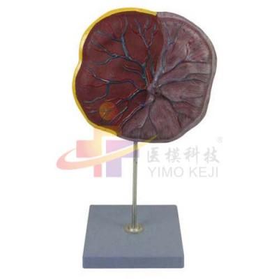 医模 胎盘脐带模型
