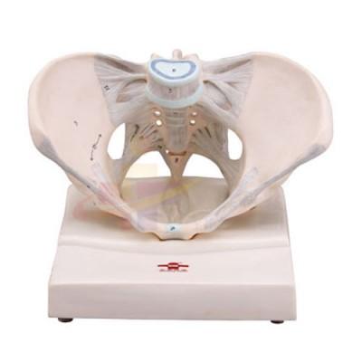 医模 女性骨盆模型(带韧带)