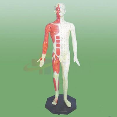医模 标准针灸穴位模型