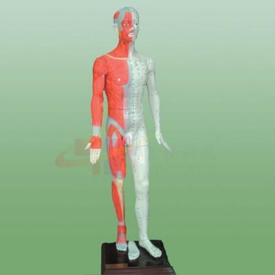 医模 多媒体人体针灸穴位发光模型