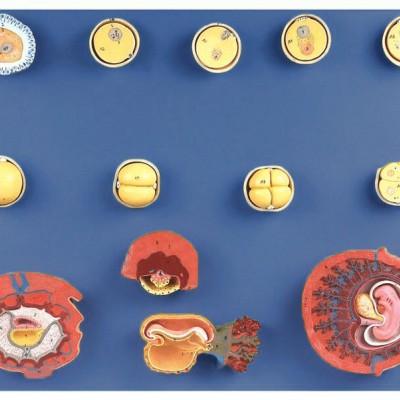 嘉奕 JY/A6133 受精与初期胚胎发育过程模型