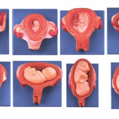 嘉奕 JY/A6137 妊娠胚胎发育过程模型