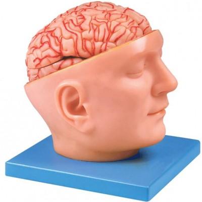 嘉奕 JY/A6077 头部附脑和动脉模型