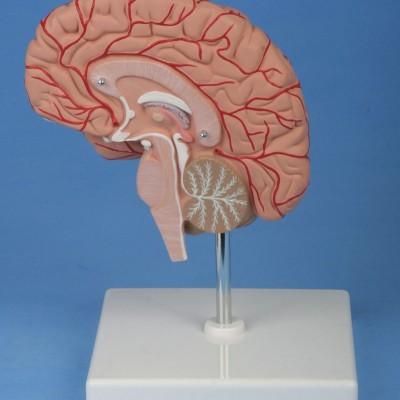 嘉奕 JY/A6071 右半脑模型