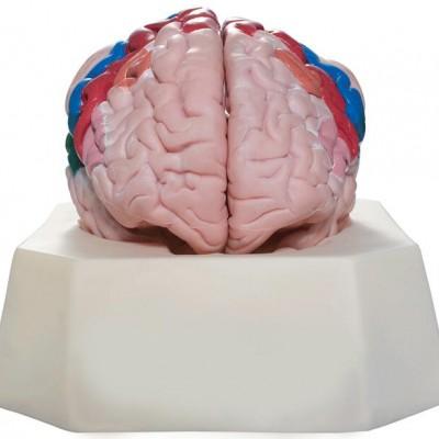 嘉奕 JY/A6069 大脑皮质分区模型