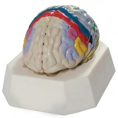 嘉奕 JY/A6068 大脑皮质功能定位模型