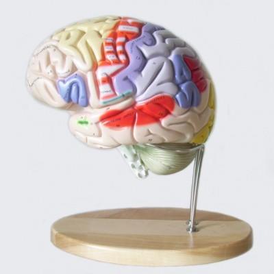 嘉奕 JY/A6064 大脑模型