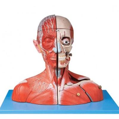 嘉奕 JY/A6074 头颈部血管神经附脑模型