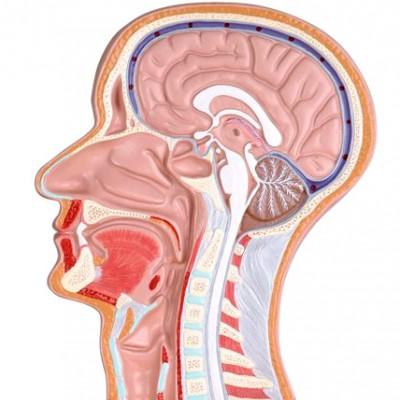 嘉奕 JY/A6065 头部正中矢状切面附血管神经模型