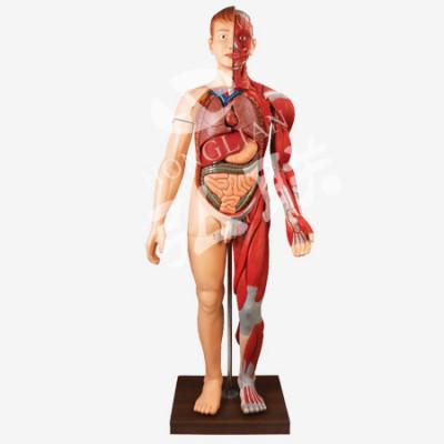 人体内脏模型 弘联肌肉附内脏模型  人体全身层次肌肉附内脏模型