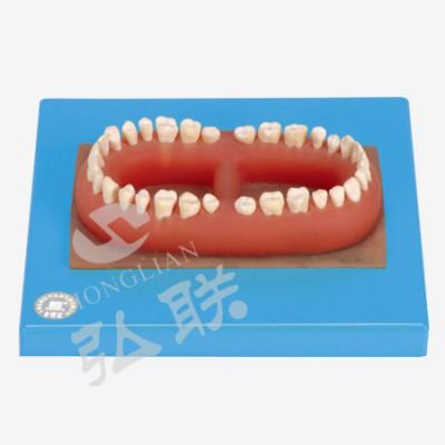 弘联成人牙模型 健康牙齿模型 成人牙模型