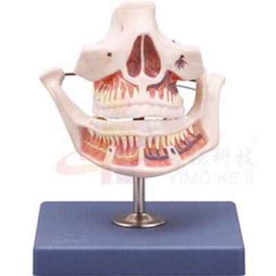 医模 成人牙齿模型