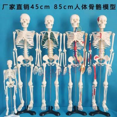 人体骨骼模型 兴淘模型人体骨骼模型 45CM/85cm人体骨骼模型