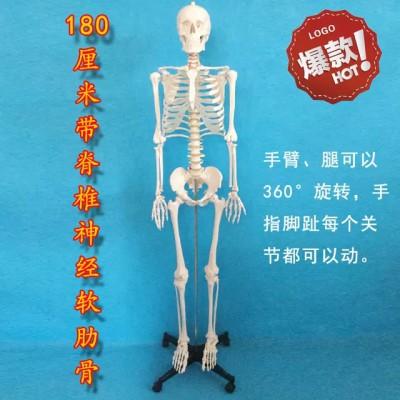 人体大骨骼模型 兴淘模型人体大骨骼模型 170cm人体大骨骼模型